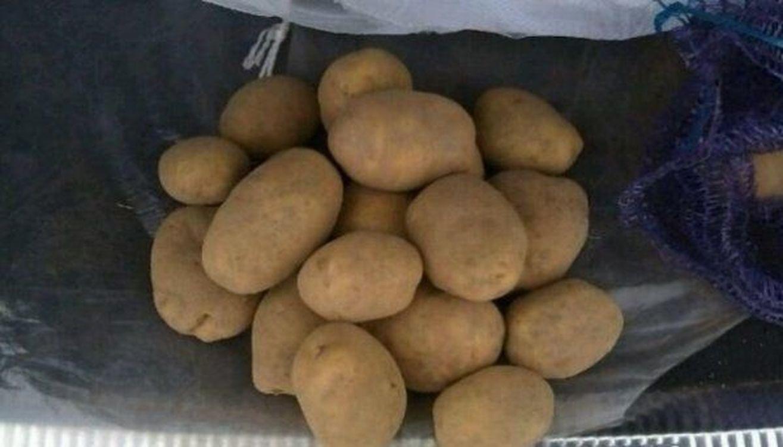 Картофель Беларусский из Гомеля от 20 тонн Вектор,Бриз 5 от КФХ 7,5 ркг